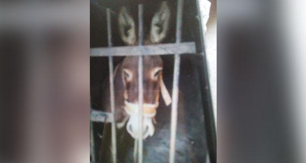En Oaxaca, encarcelan a burro; lleva 48 horas sin agua y comida