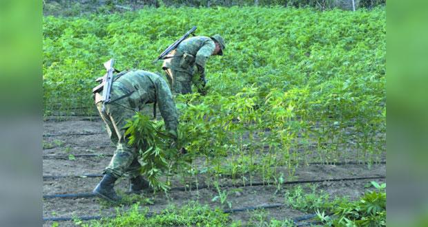 Zona sur de Puebla, donde más se detectan plantíos de mariguana: González