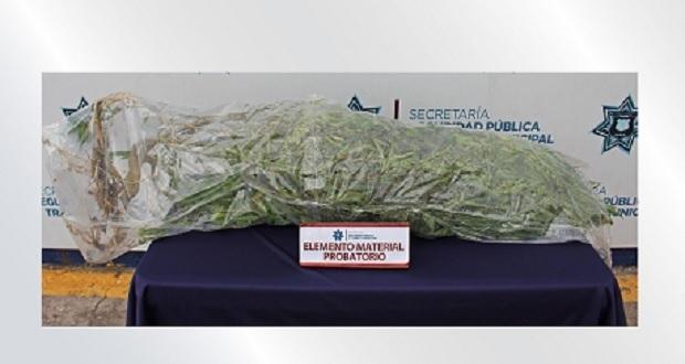 Ssptm asegura planta de posible mariguana de 3 kilos sembrada en vía pública