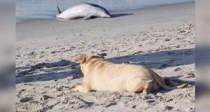 Perro ciego trata de rescatar a delfín varado en la playa