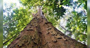 El árbol más grande del Amazonas se salva de los incendios