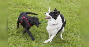 Una extraña enfermedad está matando a decenas de perros en Noruega