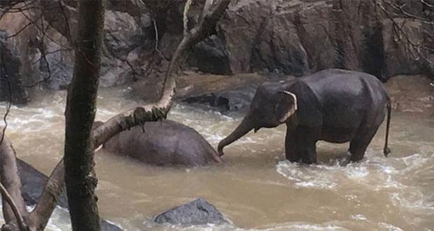 11 elefantes mueren por tratar de salvar una cría en Tailandia