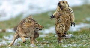 Imagen de marmota asustada, gana Wildlife Photographer of The Year