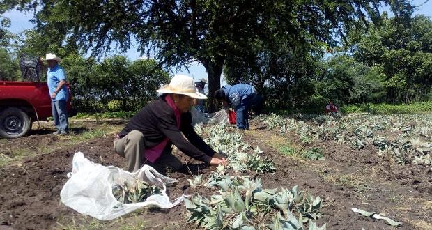 Apoyan a campesinos con magueyes en Teopantlán y Huehuetlán El Grande