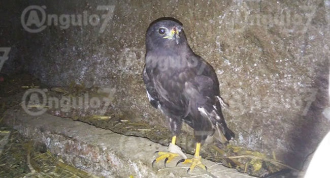En campo de Tonantzintla, vecino rescata a águila herida de un ala