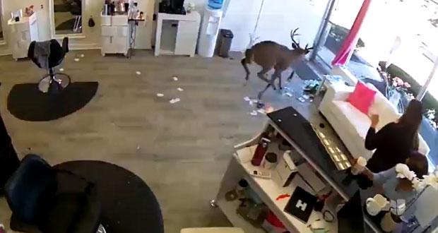 En video, captan irrupción de ciervo en salón de belleza de EU