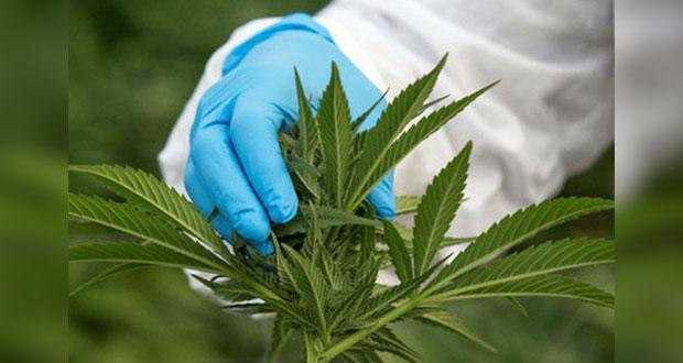 Propone Morena que Estado se encargue de compra-venta de mariguana