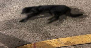 Envenenan a por lo menos 20 perros callejeros en centro de Atempan