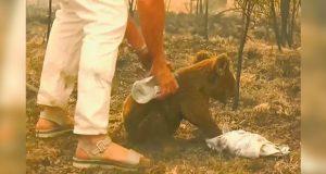 Muere Lewis, el koala rescatado de las llamas en Australia