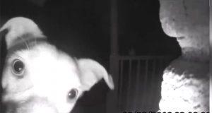 Perro toca el timbre de su casa a media noche y se hace viral