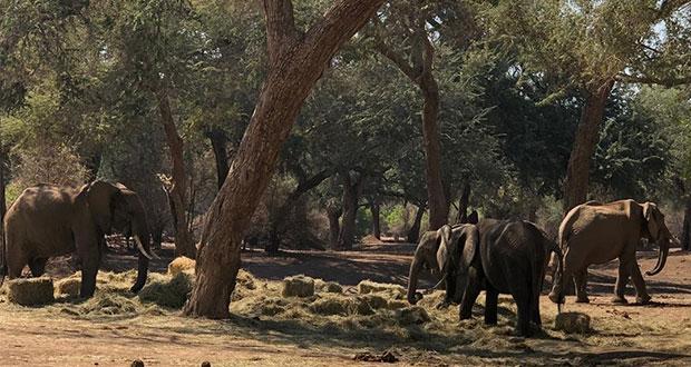 Por falta de alimento y sequía, mueren 200 elefantes en Zimbabwe