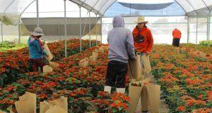 Son 7 los municipios productores de flor de Nochebuena en Puebla