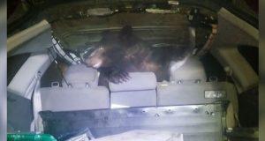 Abre la cajuela de su auto y encuentra a oso; video se viraliza