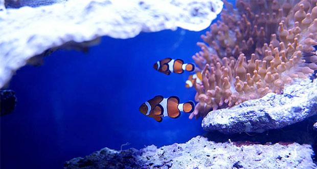 Calentamiento global amenaza los arrecifes de coral y al pez payaso