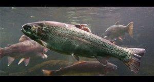 Solicitan permiso para granjas acuícolas de trucha en Chilchotla