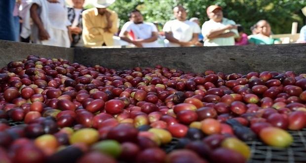 SDR destina casi 33 mdp para la cosecha de café en Puebla
