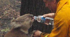 Incendios en Australia cobran la vida de al menos 8 mil koalas