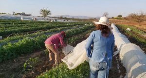 Investigadores buscan rescatar producción de sandía en Tecomatlán
