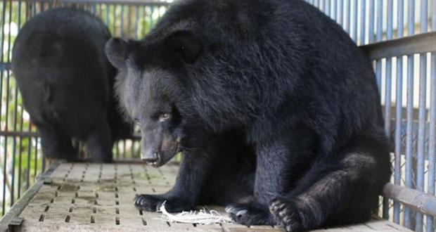 Probarán inyecciones con bilis de oso contra el Covid-19 en China