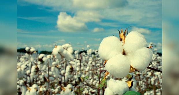 Semarnat rechaza 19 solicitudes para sembrar algodón transgénico
