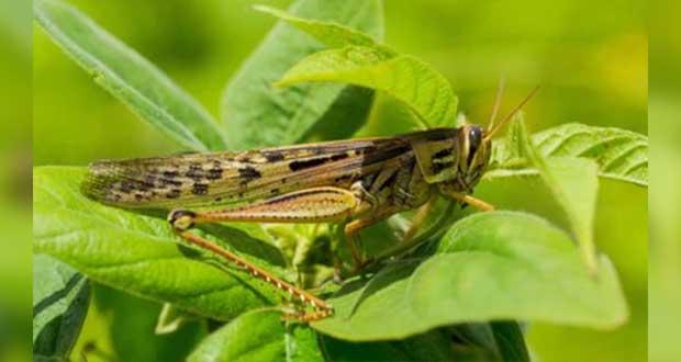 Sader destina 25 mdp para proteger cultivos ante langosta en 10 estados