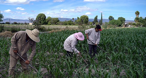 Cultivos de productores agrícolas poblanos, asegurados