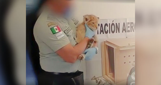 Con operativos, GN rescata a 456 animales en peligro de extinción