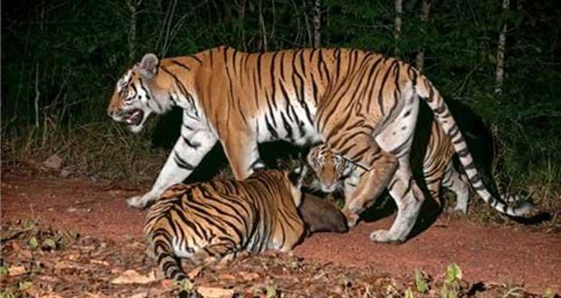 ¿Sabías que el 29 de julio es el Día Internacional del Tigre?