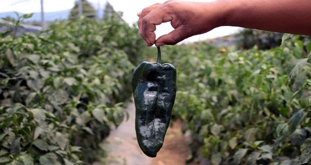 Promueven productos poblanos para elaboración del chile en nogada