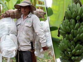 Ingresos por 163 mdp deja producción de plátano en Puebla cada año