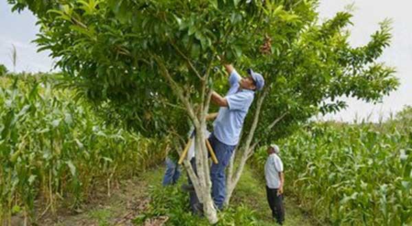 Con milpa y árboles, buscan más ingresos y cuidar ambiente