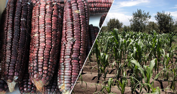 Puebla, cuna del maíz, celebra el Día Nacional de este cultivo