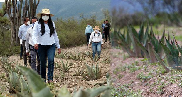 Impulsan conservación de magueyes en Reserva de Biósfera de Tehuacán