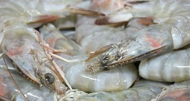 Veda de camarón está por comenzar en aguas del noroeste de México