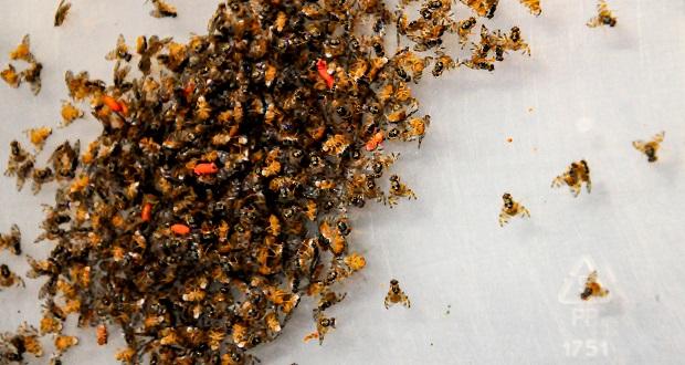 La Técnica del Insecto Estéril permite criar larvas macho en masa