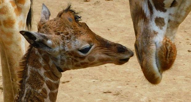 Hay nueva jirafa bebé en zoológico San Juan de Aragón en CDMX