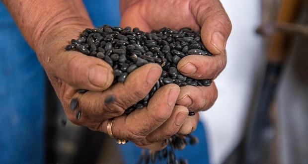 Producción de frijol en México aumentará 7.7% este 2021: Sader