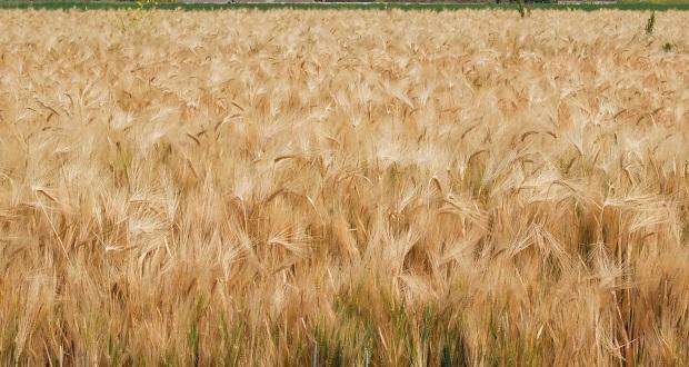 Sonora aumentará su producción de trigo un 10%: Sader