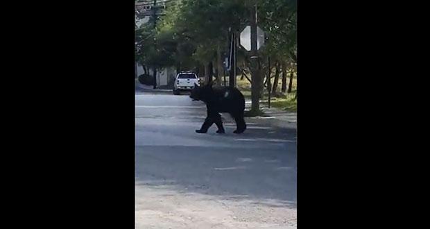 Captan oso negro merodeando en calles de Nuevo León; come frituras