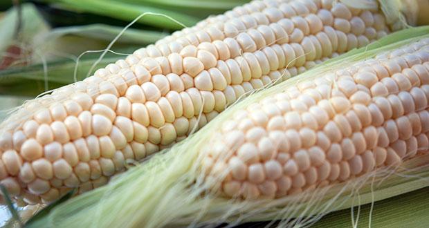 Maíz cacahuazintle, alma del pozole; conoce datos de este grano
