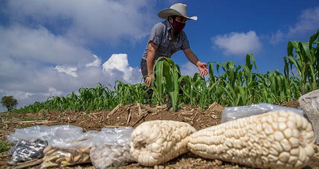Puebla, tercer productor de maíz cacahuazintle, básico para pozole