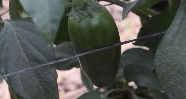 Producción de chile verde en México sube 2.7% en 2020